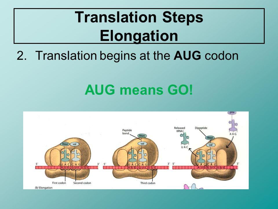 Translation Steps Elongation 2.Translation begins at the AUG codon AUG means GO!