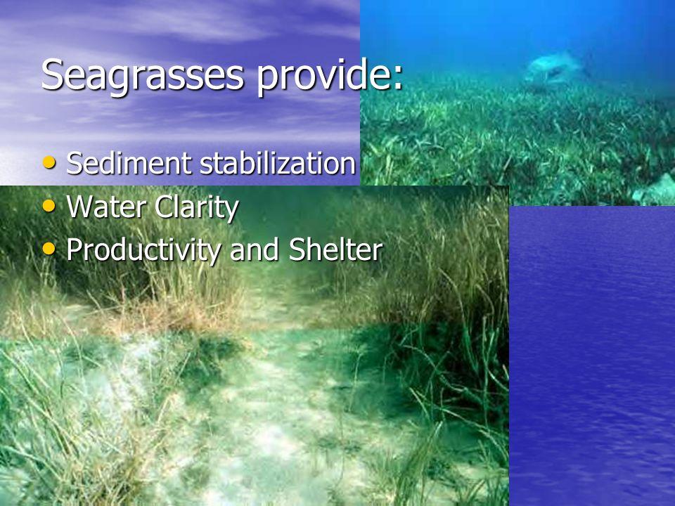 Seagrasses provide: Sediment stabilization Sediment stabilization Water Clarity Water Clarity Productivity and Shelter Productivity and Shelter