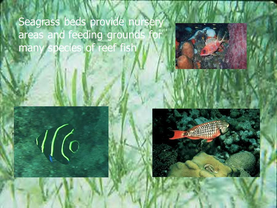 Seagrass beds provide nursery areas and feeding grounds for many species of reef fish