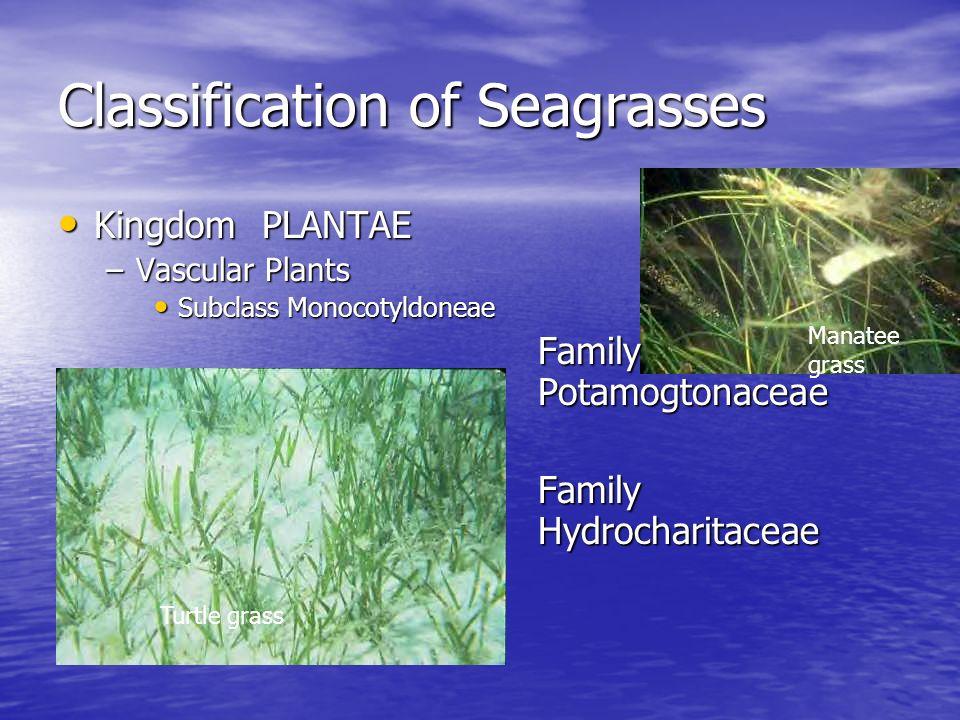Classification of Seagrasses Kingdom PLANTAE Kingdom PLANTAE –Vascular Plants Subclass Monocotyldoneae Subclass Monocotyldoneae Family Potamogtonaceae
