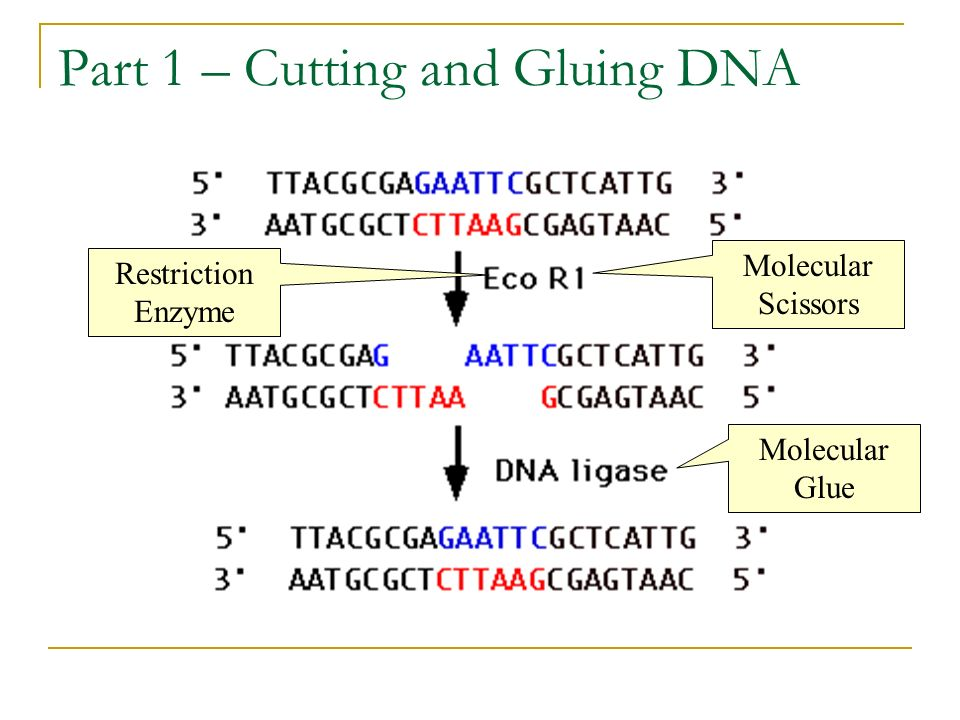 Part 1 – Cutting and Gluing DNA Restriction Enzyme Molecular Scissors Molecular Glue
