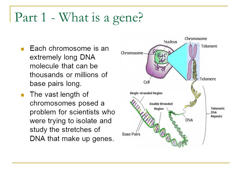 Part 1 - What is a gene? Each chromosome is an extremely long DNA molecule that can be thousands or millions of base pairs long. The vast length of ch
