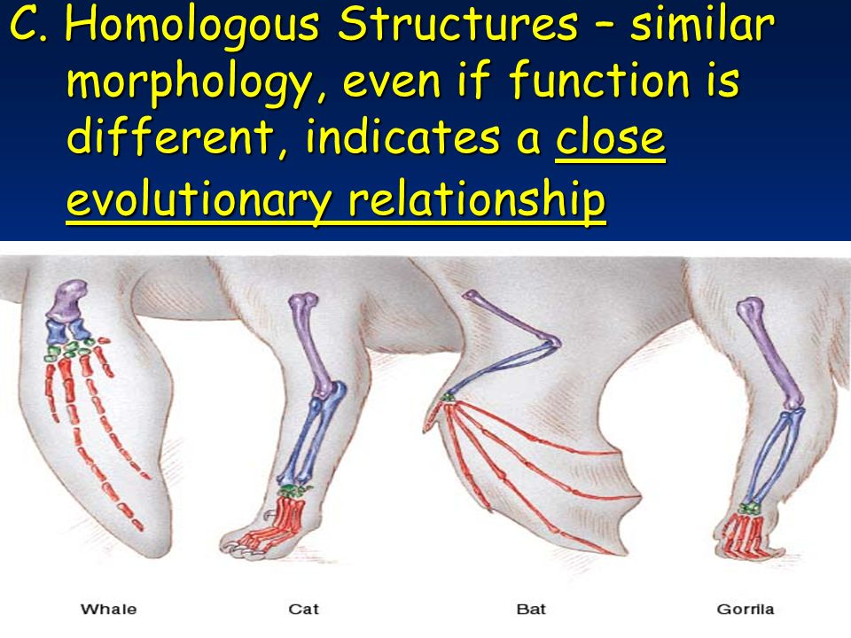 C. Homologous Structures – similar morphology, even if function is different, indicates a close evolutionary relationship