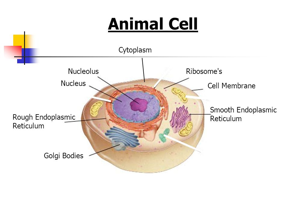 Section 7-2 Figure 7-5 Plant and Animal Cells Go to Section: Animal Cell Nucleus Nucleolus Rough Endoplasmic Reticulum Smooth Endoplasmic Reticulum Ri