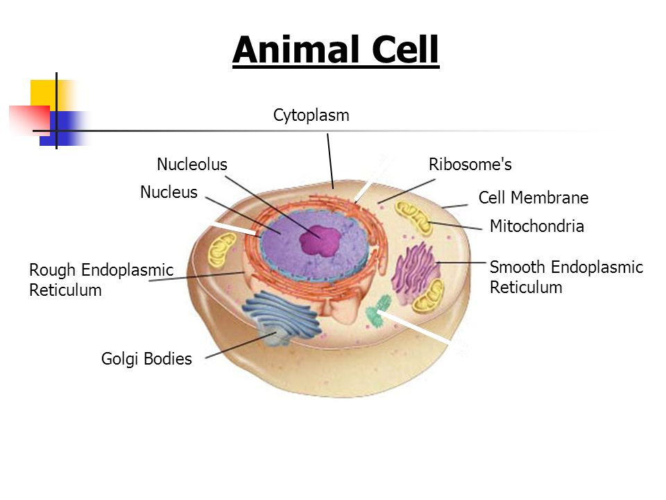 Animal Cell Nucleus Nucleolus Rough Endoplasmic Reticulum Smooth Endoplasmic Reticulum Ribosome's Golgi Bodies Mitochondria Cell Membrane Cytoplasm