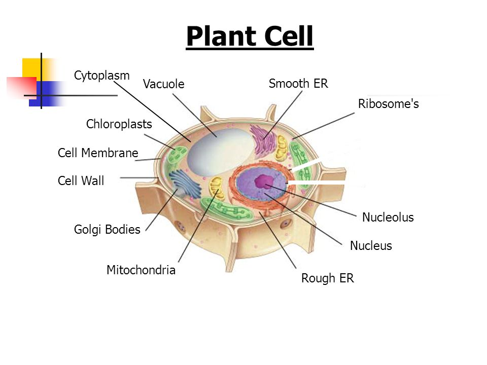 Plant Cell Cell Membrane Vacuole Chloroplasts Cell Wall Nucleolus Nucleus Rough ER Smooth ER Golgi Bodies Mitochondria Ribosome's Cytoplasm