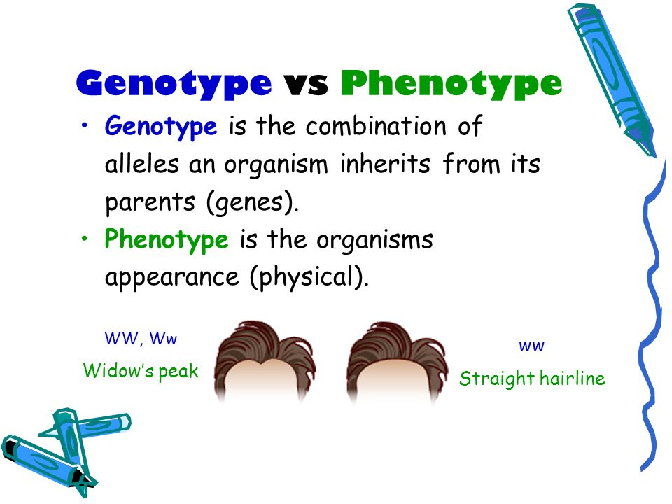 Genotype vs Phenotype Genotype is the combination of alleles an organism inherits from its parents (genes). Phenotype is the organisms appearance (phy