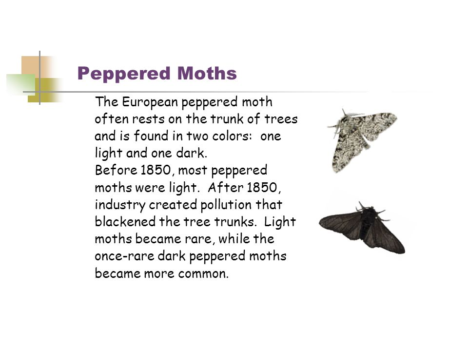 Peppered Moths The European peppered moth often rests on the trunk of trees and is found in two colors: one light and one dark. Before 1850, most pepp