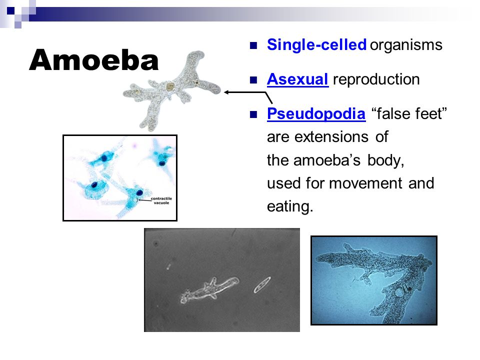 Euglena Single-celled organisms Asexual reproduction Flagella (whip like thread that propel the euglena through water)
