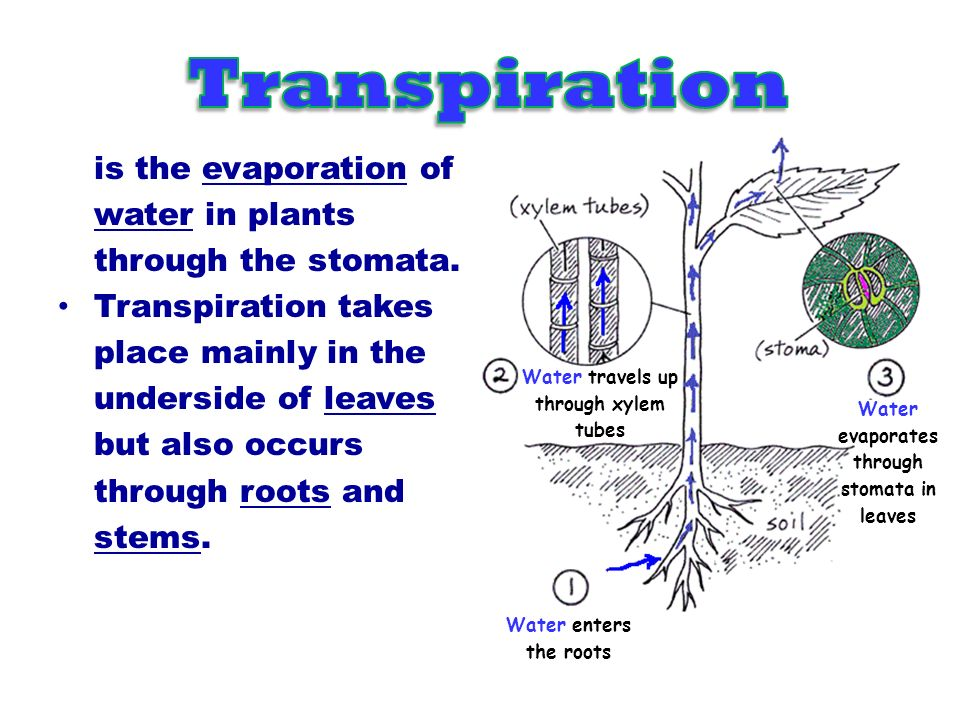 Water lost by transpiration.Capillary action Water absorbed by root hairs.
