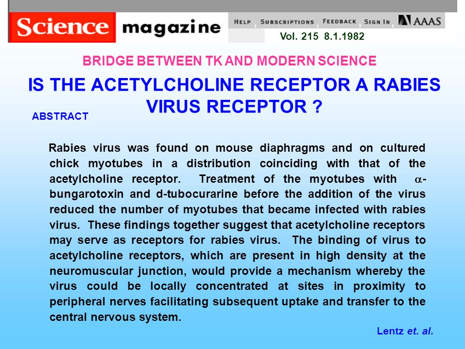 IS THE ACETYLCHOLINE RECEPTOR A RABIES VIRUS RECEPTOR ? ABSTRACT Rabies virus was found on mouse diaphragms and on cultured chick myotubes in a distri