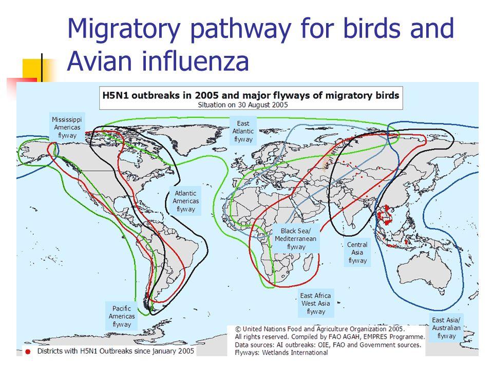 Migratory pathway for birds and Avian influenza