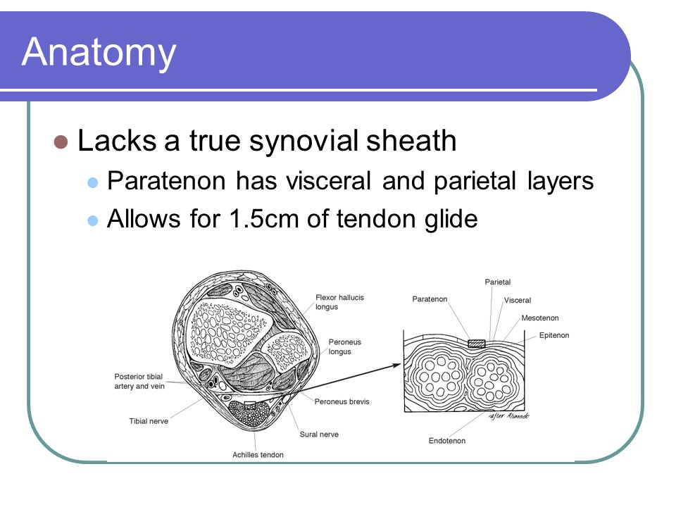 Anatomy Lacks a true synovial sheath Paratenon has visceral and parietal layers Allows for 1.5cm of tendon glide