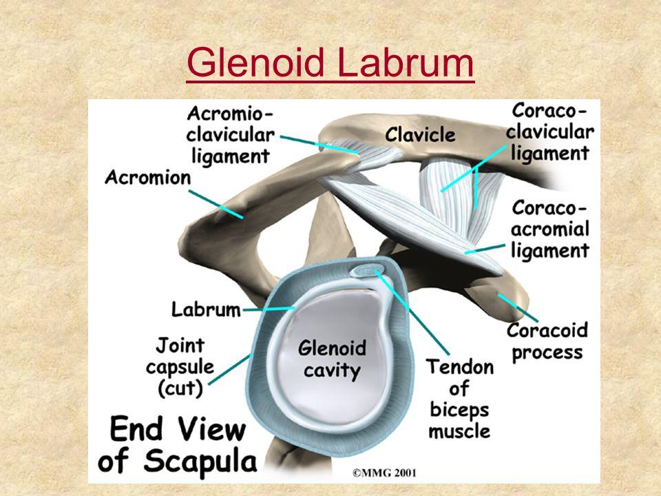 Glenoid Labrum