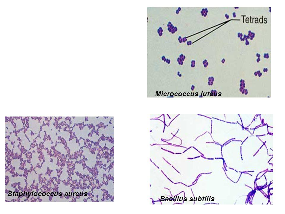 Staphylococcus aureus Micrococcus luteus Bacillus subtilis