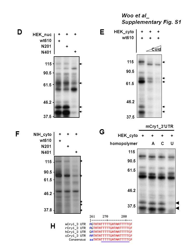 homopolymer HEK_cyto ++ ACU ++ mCry1_3UTR 115 90.5 61.5 46.2 37.5 F G Woo et al_ Supplementary Fig. S1 H N401 wt610 N201 NIH_cyto +++ + + + 115 90.5 6
