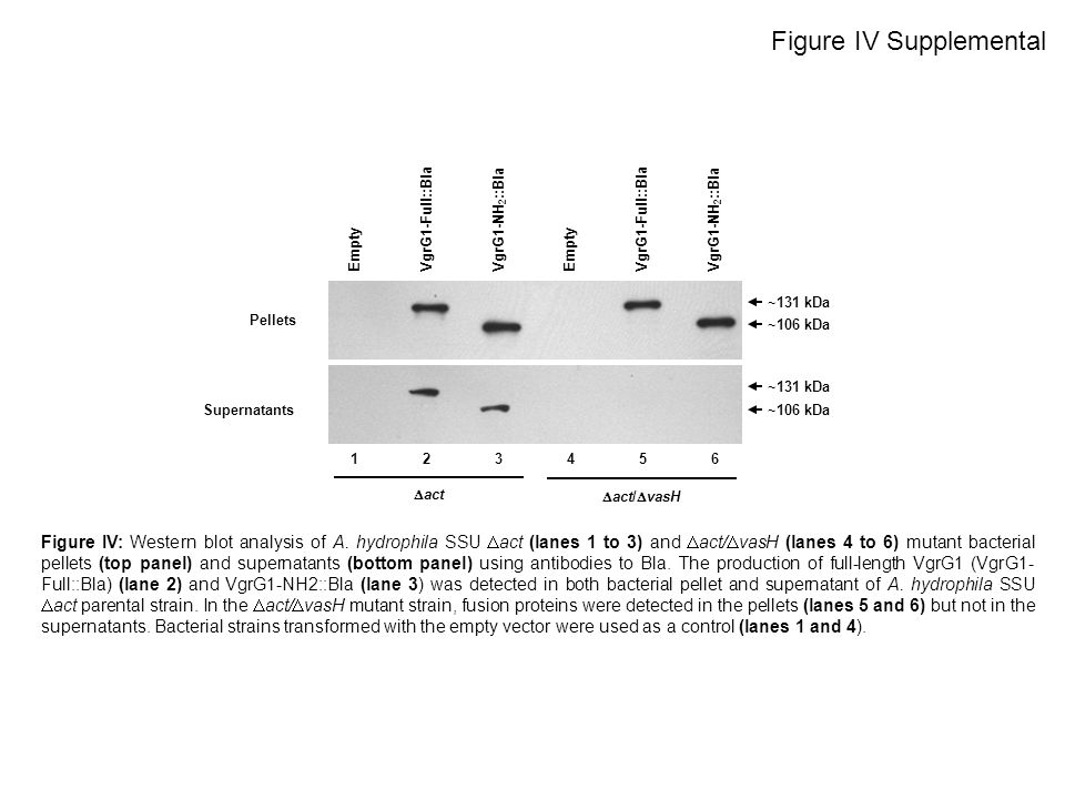 Figure IV: Western blot analysis of A. hydrophila SSU act (lanes 1 to 3) and act/ vasH (lanes 4 to 6) mutant bacterial pellets (top panel) and superna