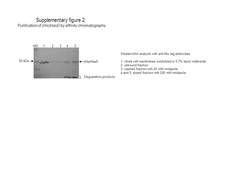 Supplementary figure 2: Purification of (His)HasD by affinity chromatography MW 1 2 3 4 5 (His)HasD 55 kDa Western-blot analysis with anti-His tag ant