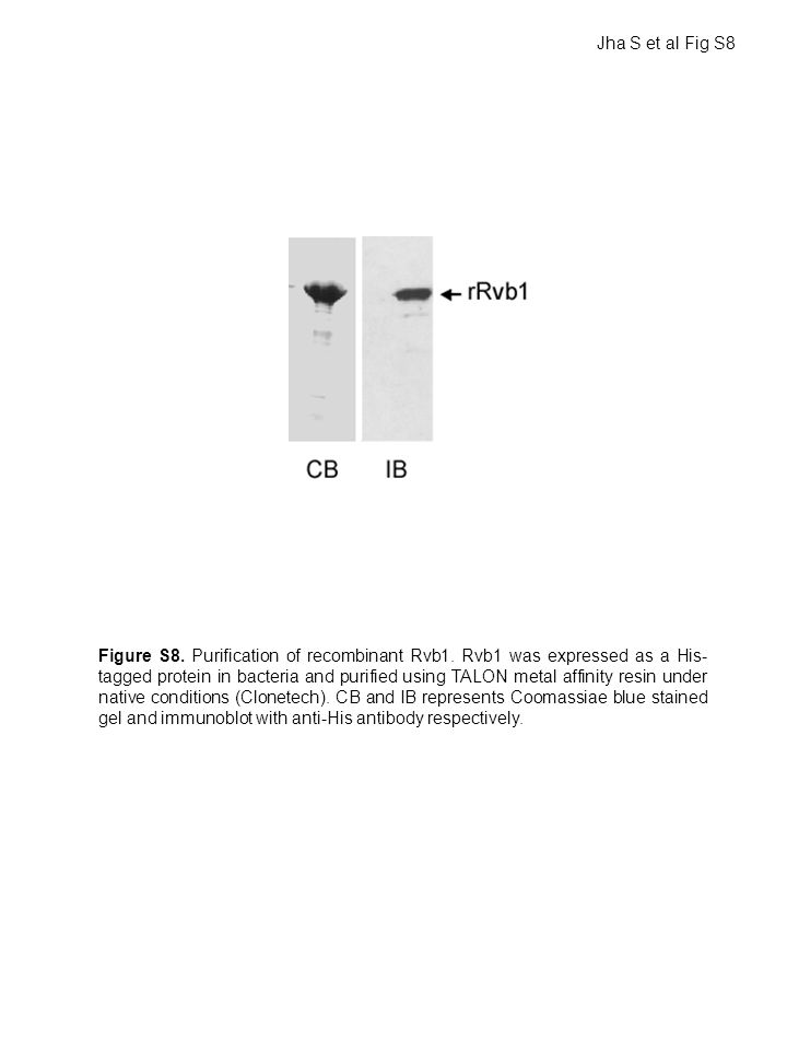 Figure S8. Purification of recombinant Rvb1.