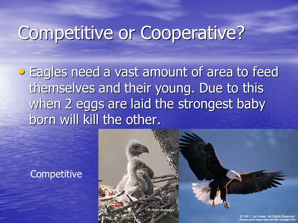 Competitive or Cooperative? Eagles need a vast amount of area to feed themselves and their young. Due to this when 2 eggs are laid the strongest baby
