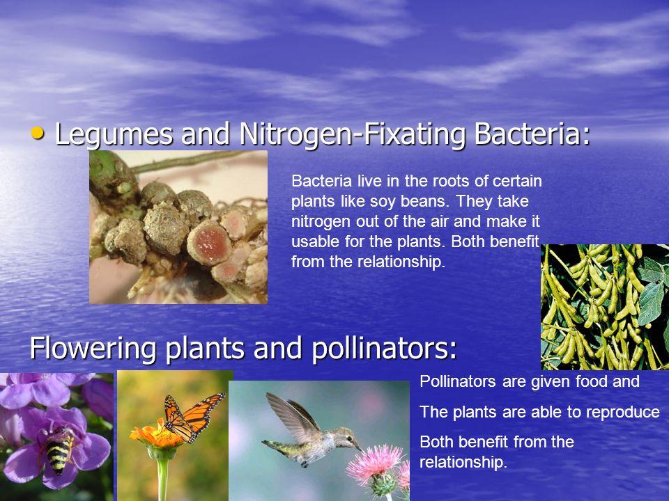 Legumes and Nitrogen-Fixating Bacteria: Legumes and Nitrogen-Fixating Bacteria: Flowering plants and pollinators: Bacteria live in the roots of certai
