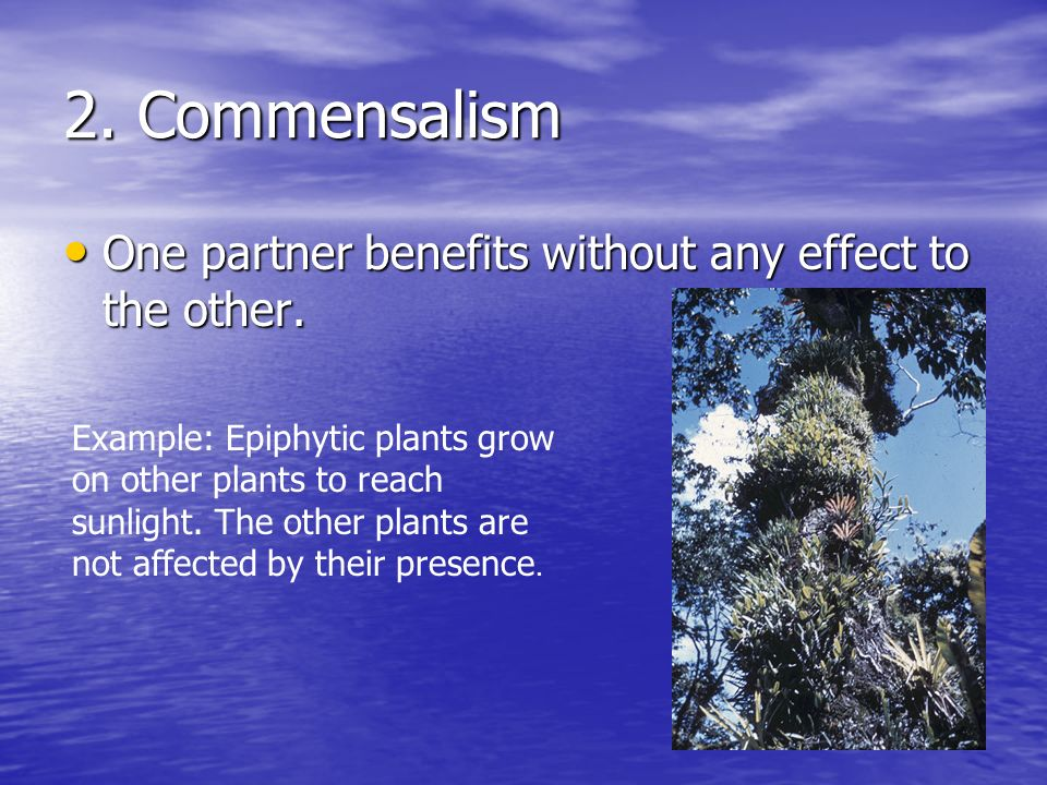2. Commensalism One partner benefits without any effect to the other. One partner benefits without any effect to the other. Example: Epiphytic plants