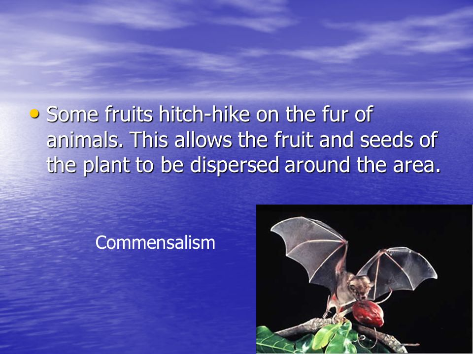 Some fruits hitch-hike on the fur of animals. This allows the fruit and seeds of the plant to be dispersed around the area. Some fruits hitch-hike on