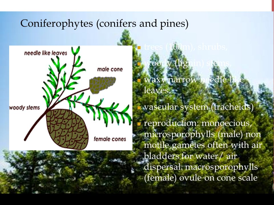 www.BioEdOnline.org Coniferophytes (conifers and pines) trees (100m), shrubs, woody (lignin) stems, waxy narrow needle like leaves. vascular system (t