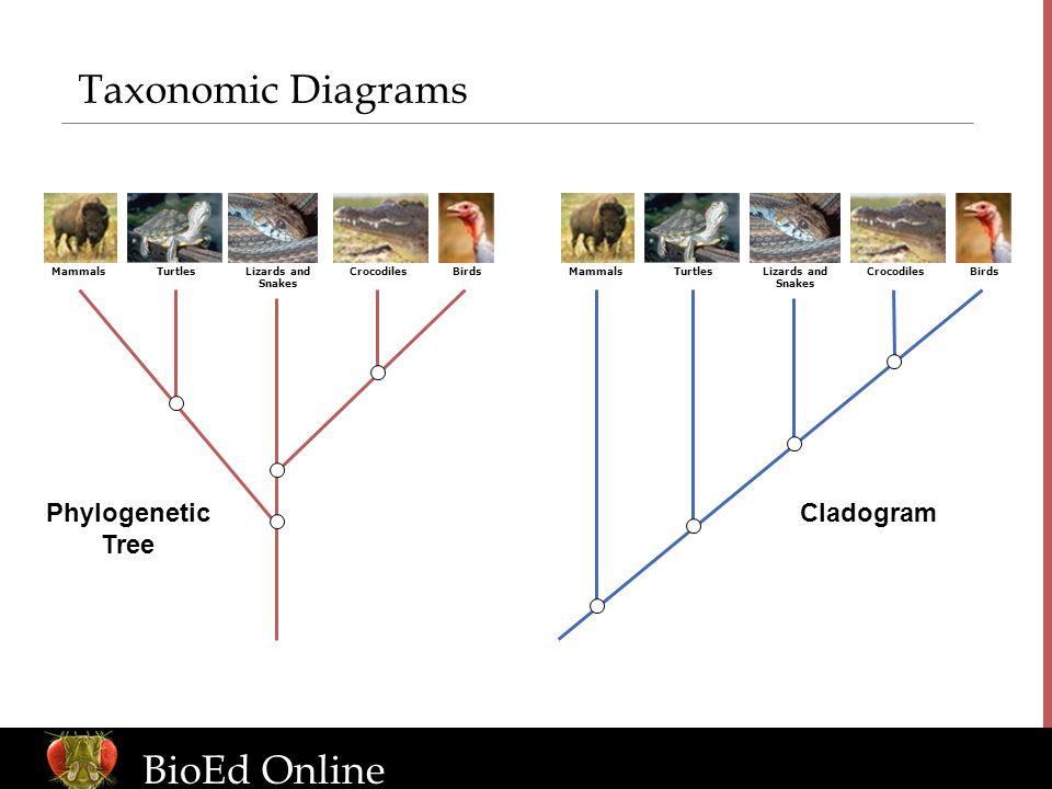 www.BioEdOnline.org Taxonomic Diagrams MammalsTurtlesLizards and Snakes CrocodilesBirdsMammalsTurtlesLizards and Snakes CrocodilesBirds CladogramPhylo