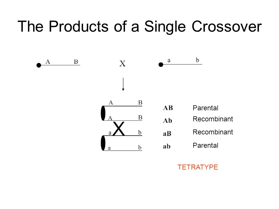 The Products of a Single Crossover Parental Recombinant Parental TETRATYPE