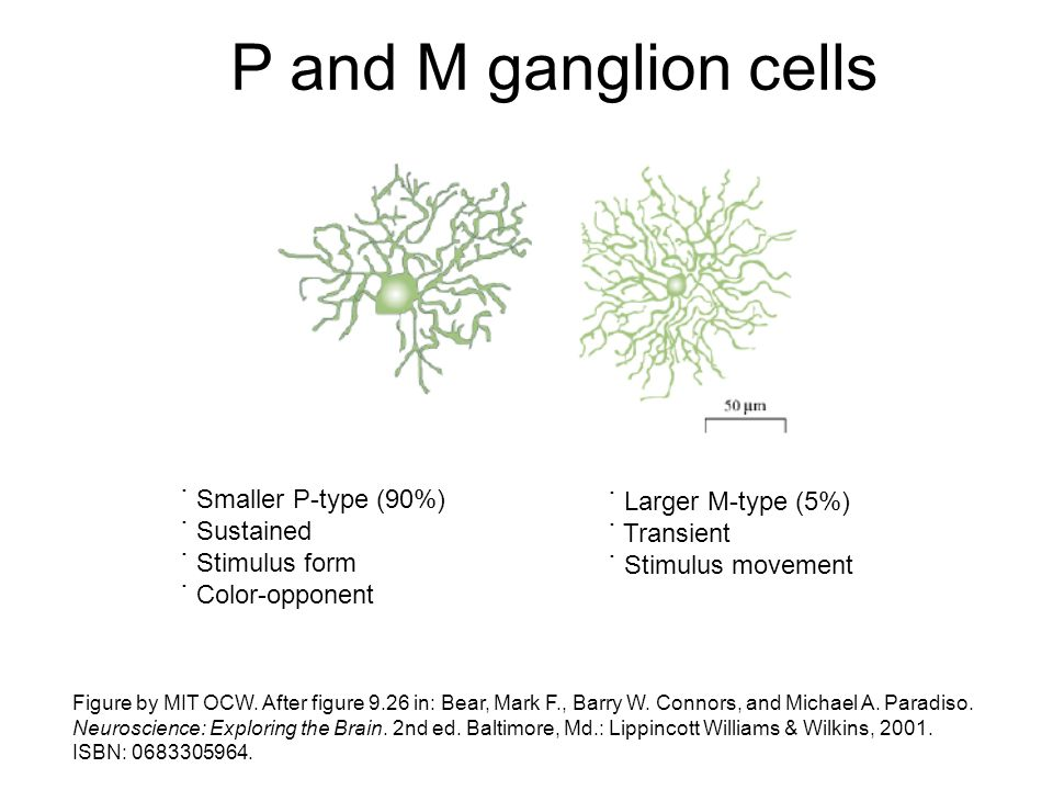 P and M ganglion cells Figure by MIT OCW. After figure 9.26 in: Bear, Mark F., Barry W. Connors, and Michael A. Paradiso. Neuroscience: Exploring the