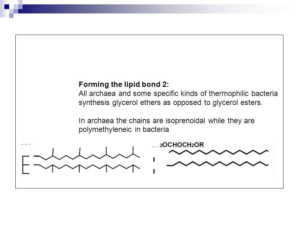 Forming the lipid bond 2: All archaea and some specific kinds of thermophilic bacteria synthesis glycerol ethers as opposed to glycerol esters. In arc