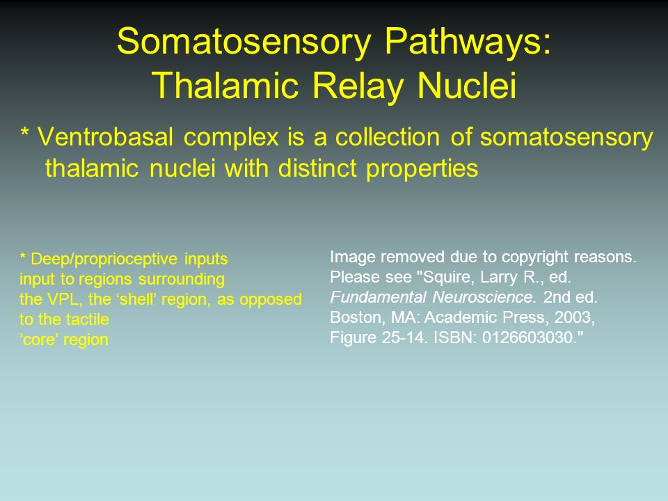 Somatosensory Pathways: Thalamic Relay Nuclei * Ventrobasal complex is a collection of somatosensory thalamic nuclei with distinct properties * Deep/p