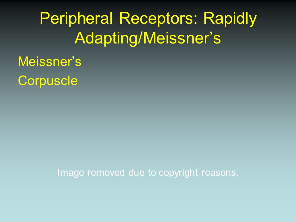 Peripheral Receptors: Pacinian Corpuscles Pacinian Corpuscle Image removed due to copyright reasons.