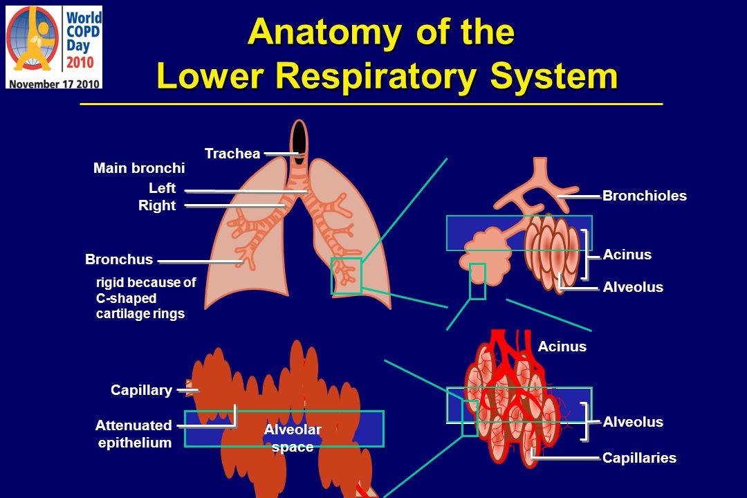 Anatomy of the Lower Respiratory System Trachea Left Right Main bronchi Bronchus Bronchioles Acinus Alveolus Acinus Alveolus Capillaries rigid because