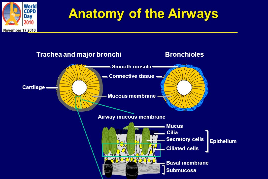 Anatomy of the Airways Trachea and major bronchiBronchioles Mucus Cilia Secretory cells Ciliated cells Basal membrane Submucosa Smooth muscle Connecti