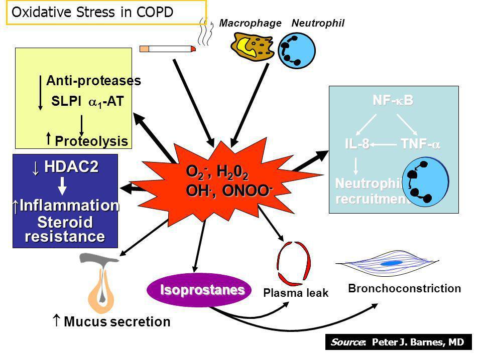 Anti-proteases SLPI 1 -AT Proteolysis O 2 -, H 2 0 2 OH., ONOO - Mucus secretion Plasma leak Bronchoconstriction NF- B IL-8 Neutrophil recruitment TNF
