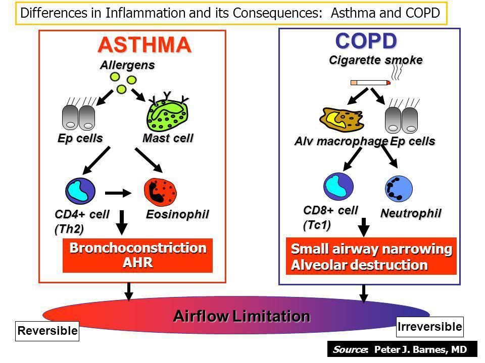 Differences in Inflammation and its Consequences: Asthma and COPD Y Y Y Mast cell CD4+ cell (Th2)Eosinophil Allergens Ep cells ASTHMA Bronchoconstrict