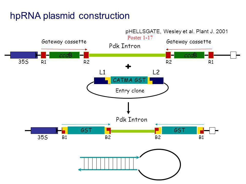 hpRNA plasmid construction L1 L2 CATMA GST Entry clone B1B2 GST B1B2 GST 35S Pdk Intron Gateway cassette R1R2 ccdB + 35S Gateway cassette R2R1 ccdB pHELLSGATE, Wesley et al.