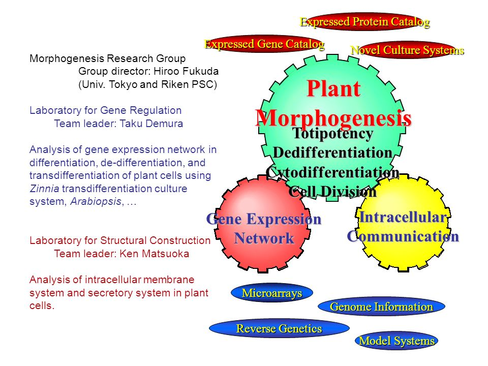 Novel Culture Systems Reverse Genetics PlantMorphogenesis Gene Expression Network IntracellularCommunication TotipotencyDedifferentiationCytodifferentiation Cell Division Microarrays Genome Information Model Systems Expressed Protein Catalog Expressed Gene Catalog Morphogenesis Research Group Group director: Hiroo Fukuda (Univ.