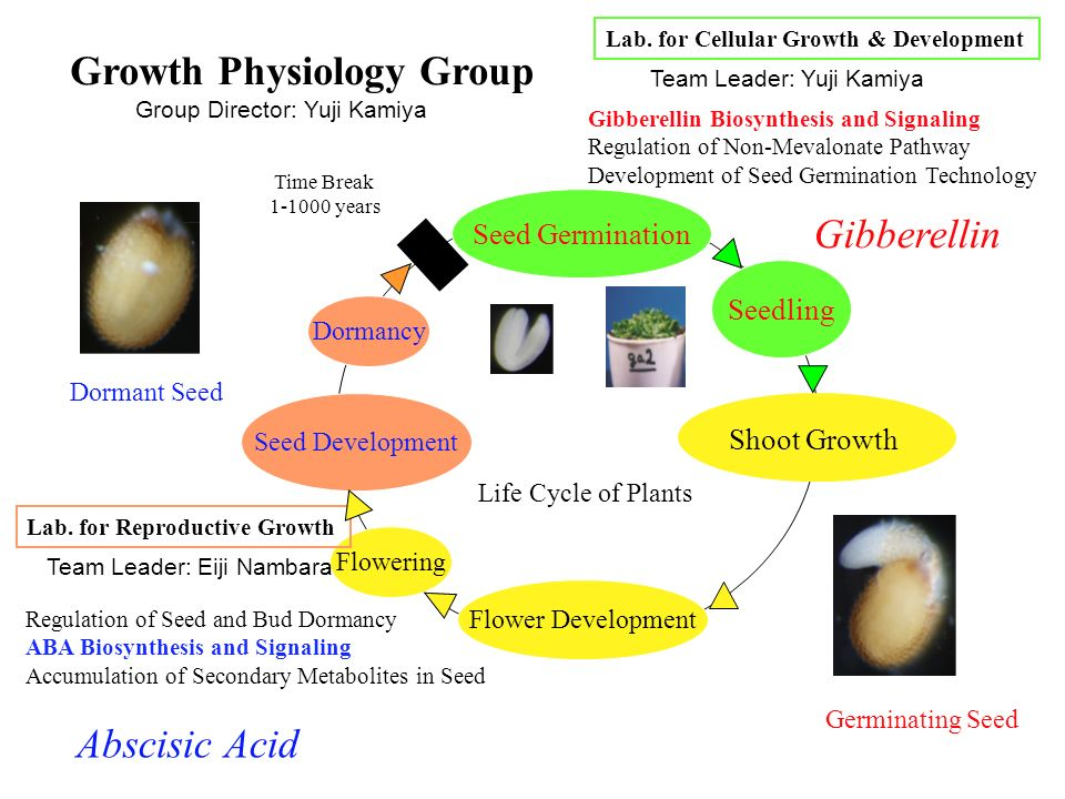 Seed Germination Shoot Growth Flower Development Flowering Seed Development Seedling Lab. for Cellular Growth & Development Lab. for Reproductive Grow