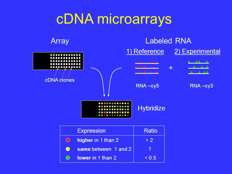 cDNA microarrays Labeled RNAArray RNA –cy5RNA –cy3 + cDNA clones 1) Reference2) Experimental Hybridize ExpressionRatio higher in 1 than 2 > 2 same between 1 and 2 1 lower in 1 than 2< 0.5