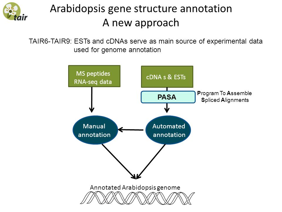 Arabidopsis gene structure annotation A new approach TAIR6-TAIR9: ESTs and cDNAs serve as main source of experimental data used for genome annotation cDNA s & ESTs Automated annotation Manual annotation Annotated Arabidopsis genome MS peptides RNA-seq data PASA Program To Assemble Spliced Alignments