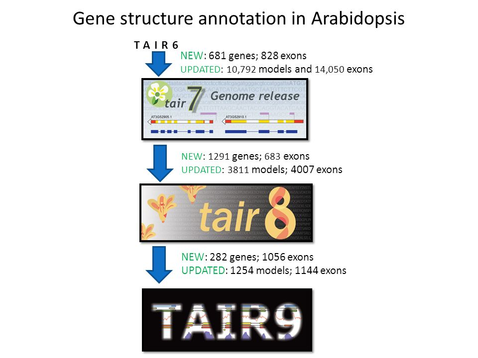 Gene structure annotation in Arabidopsis NEW: 282 genes; 1056 exons UPDATED: 1254 models; 1144 exons NEW: 1291 genes; 683 exons UPDATED: 3811 models; 4007 exons NEW: 681 genes; 828 exons UPDATED: 10,792 models and 14,050 exons TAIR6