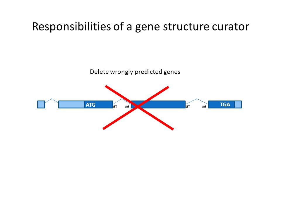 Responsibilities of a gene structure curator ATG TGA GT AG Delete wrongly predicted genes