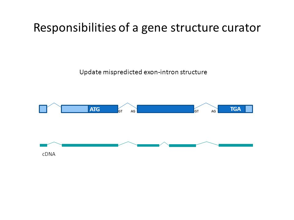 Responsibilities of a gene structure curator ATG TGA GT AG cDNA Update mispredicted exon-intron structure