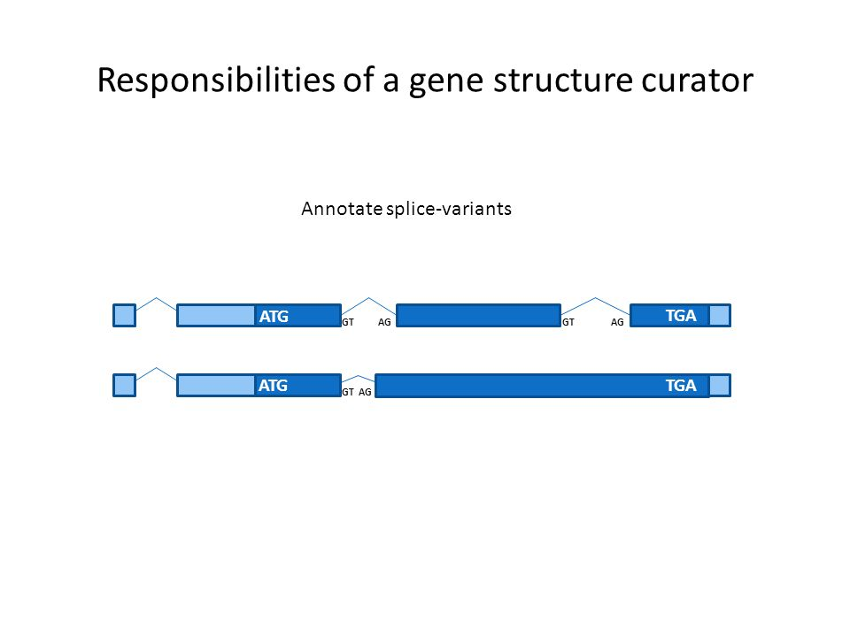 Responsibilities of a gene structure curator ATG TGA GT AG Annotate splice-variants ATGTGA GT AG