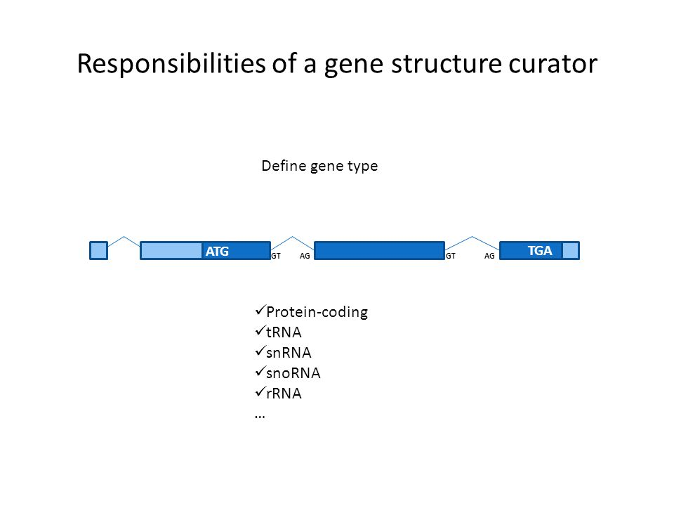 Responsibilities of a gene structure curator ATG TGA GT AG Define gene type Protein-coding tRNA snRNA snoRNA rRNA …