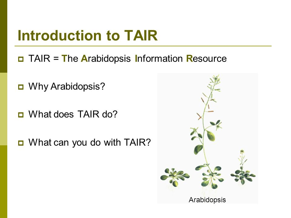 TAIR = The Arabidopsis Information Resource Why Arabidopsis? What does TAIR do? What can you do with TAIR? Introduction to TAIR Arabidopsis