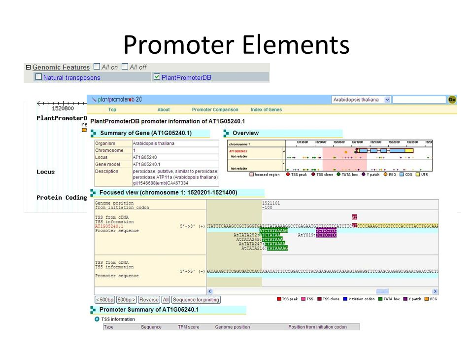 Promoter Elements